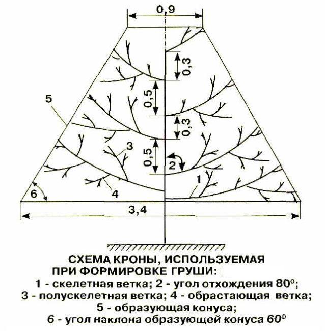 Схема кроны груши с размерами и указаниями типов веток