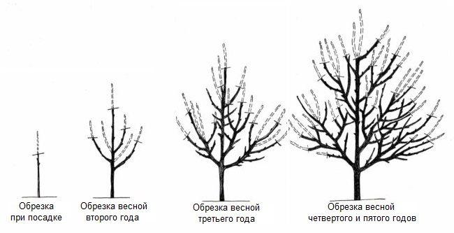 Схема весенней обрезки груши в течении первых пяти лет жизни деревца