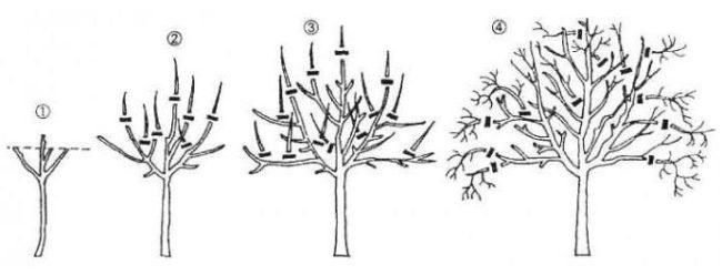 Схема формирования кроны грушевого дерева с первого по четвертый года жизни