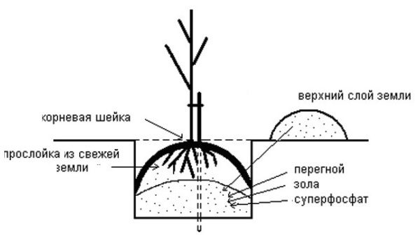 Схема организации посадочной ямы для саженца груши