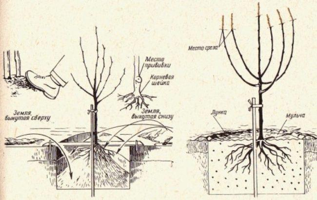 Схема посадочной ямы для саженца груши и процесс посадки
