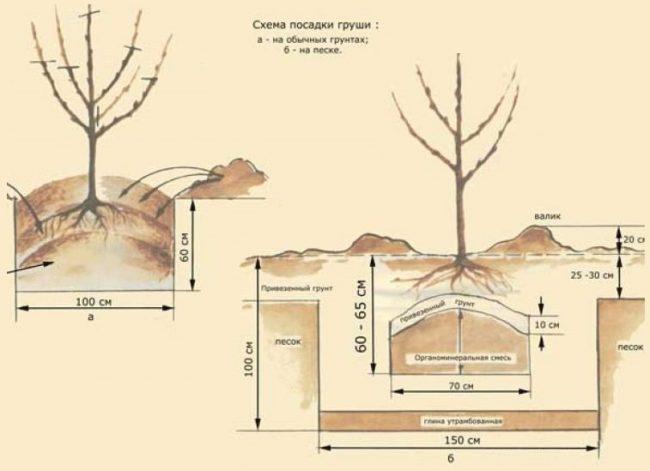 Устройство посадочной ямы для грушевого саженца