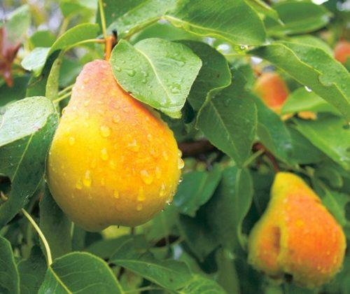 Внешний спелых плодов груши Скороспелка из Мичуринска