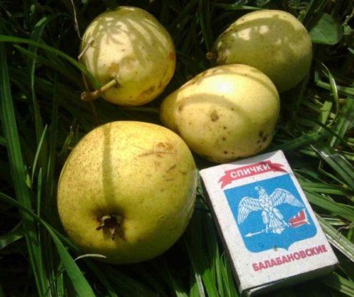Плоды груши Скороспелка из Мичуринска во время съемной спелости