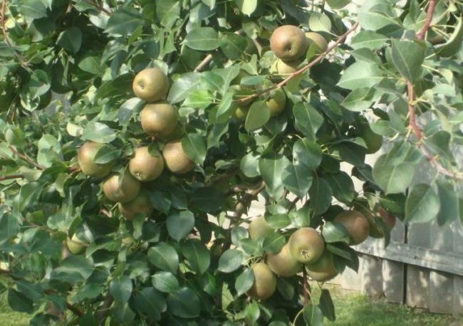 Ветки грушевого дерева с плодами сорта Лесная Красавица