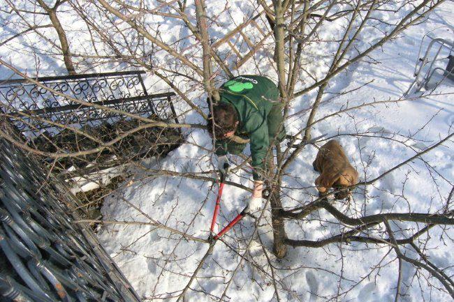 Профессиональная обрезка старого дерева груши в частном саду