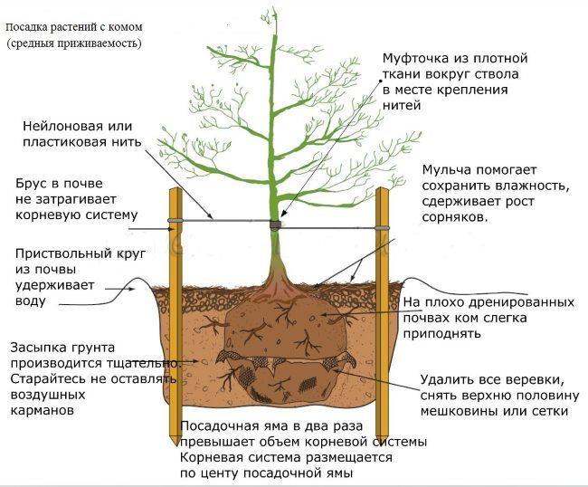 Схема посадки груши с закрытой корневой системой