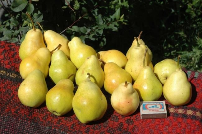 Первый урожай груш на садовой лавочке и спичечный коробок
