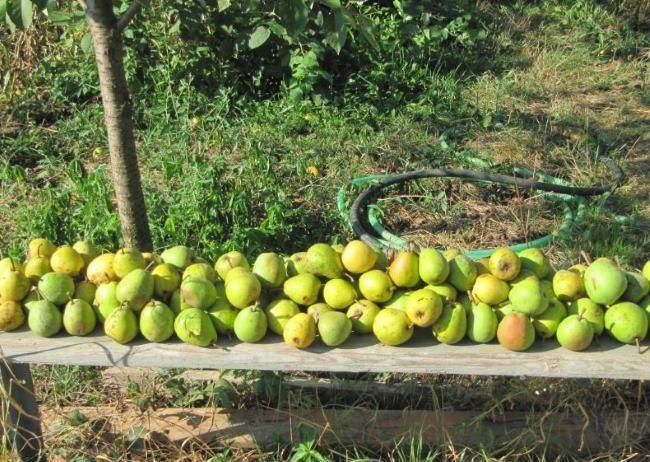 Собранный с дерева урожай груши в саду на деревянной лавке