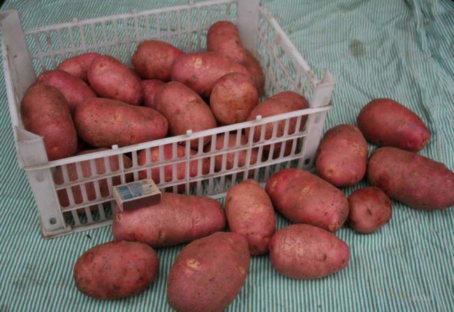 Пластиковый ящик с урожаем картошки сорта Любава раннего срока созревания