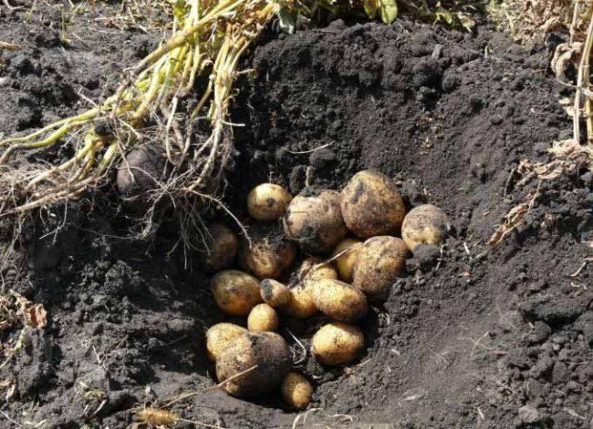 Урожай картошки столового сорта Винета с одного куста