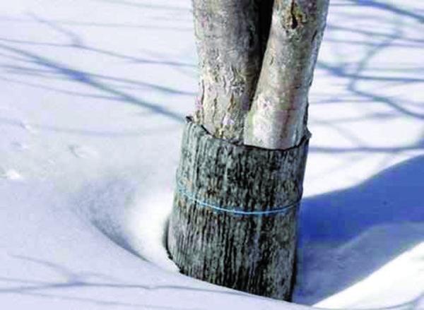 Обвертывание ствола грушевого дерева рубероидом