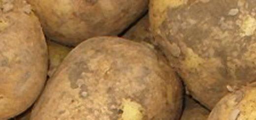 Плоды сорта картошки Венета вблизи