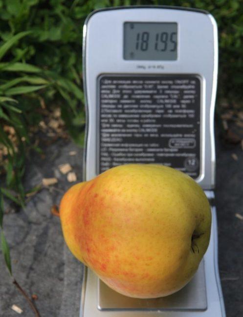 Средняя масса плода груши сорта Лада и карманные весы