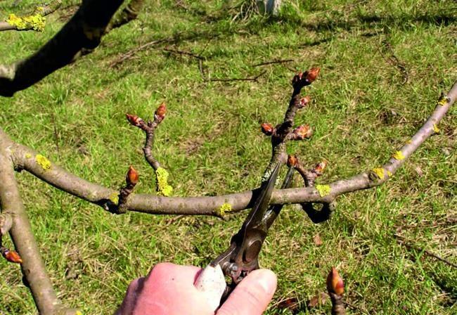 Весенняя обрезка плодовой груши садовым секатором