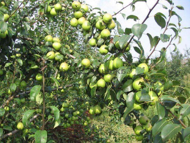 Ветки садовой груши с плодами зеленого окраса
