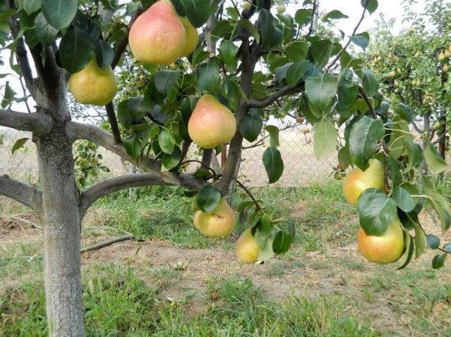 Спелые плоды желто-красного окраса на ветке грушевого дерева