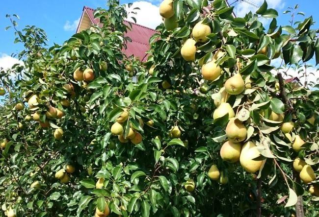Ветки грушевого дерева с зелеными плодами сорта Лада