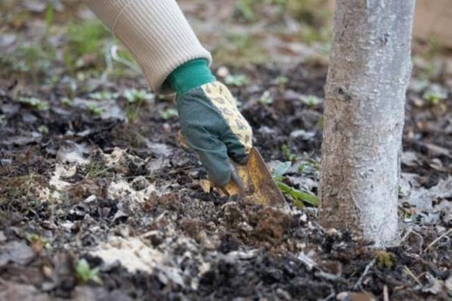 Внесение минеральной подкормки с заделкой в почву приствольного круга груши
