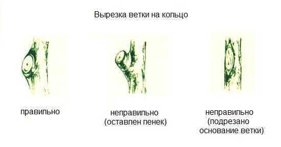Схемы правильной обрезки на кольцо ветки грушевого дерева