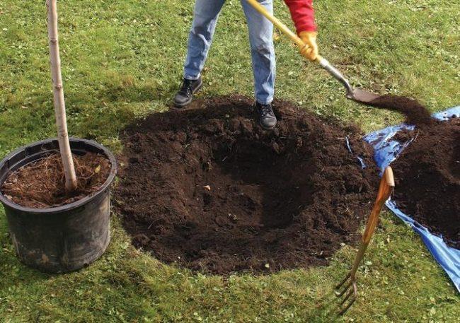 Выкапывание ямы для летней посадки деревца груши из контейнера