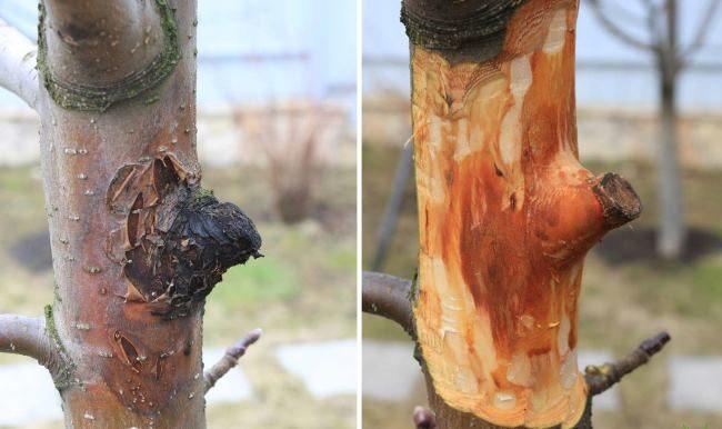 Зачистка поврежденной коры грушевого дерева своими руками