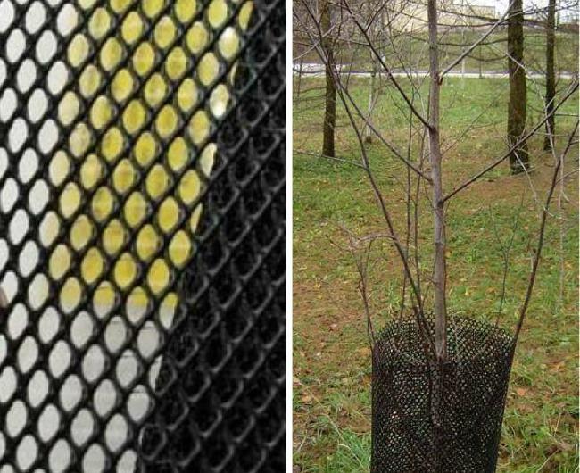 Обмотка ствола грушевого деревца защитной пластиковой сеткой