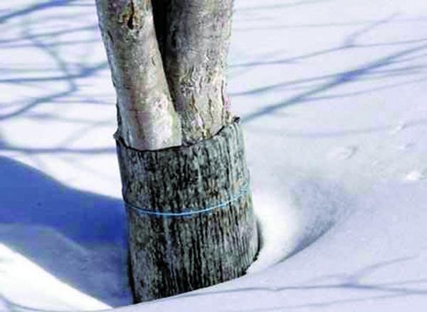 Защита основного ствола груши от подмерзания с помощью рубероида
