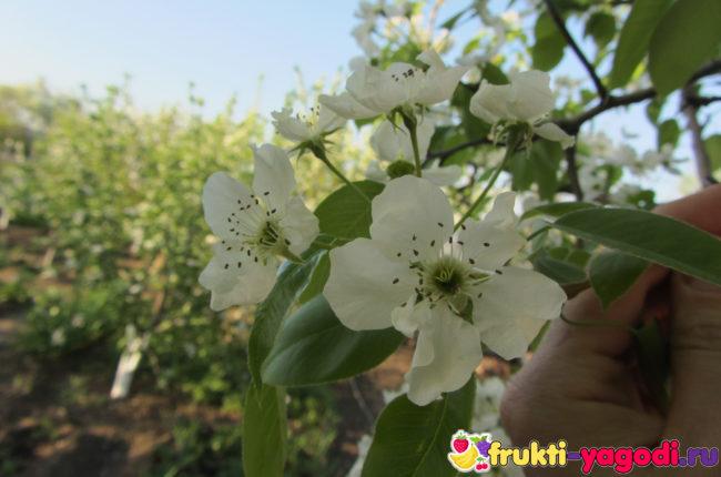 Здоровые листья и цветы на дереве груши