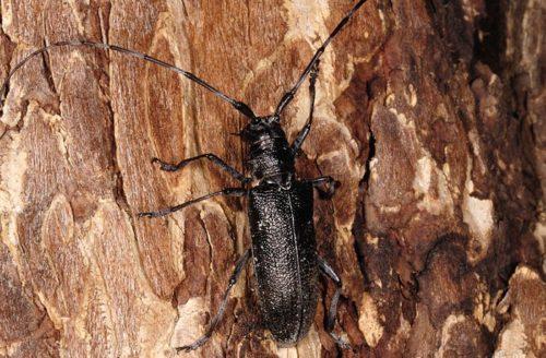 Взрослая особь жука-короеда на коре дерева