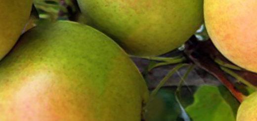Спелые плоды сорта груши Челябинская зимняя