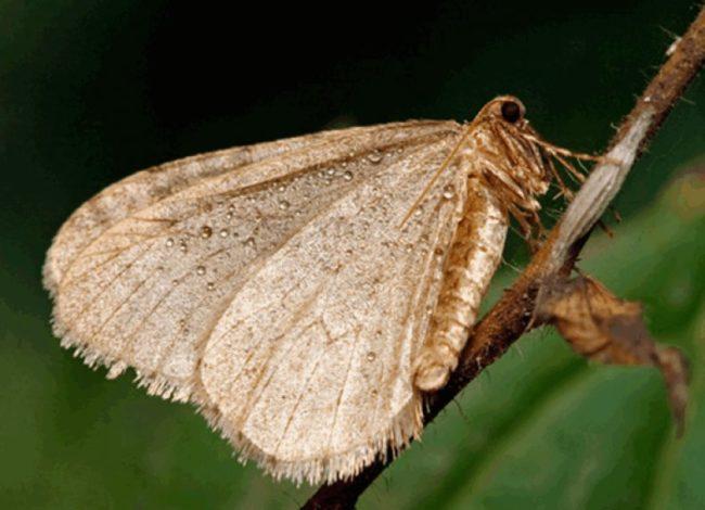 Бабочка зимней пяденицы серо-бурого окраса на стебле груши