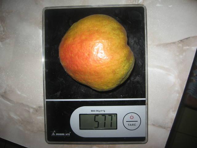 Очень крупный плод груши весом в полкилограмма сорта Маргарита Марилья