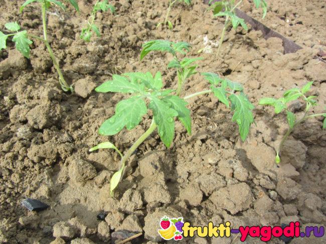Саженцы помидор высаженные в теплице