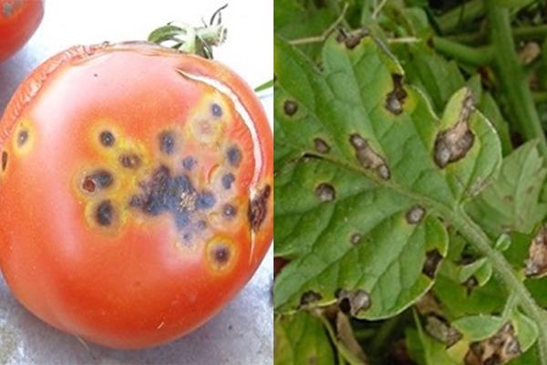 Листья и плоды томатов с признаками поражения альтернариозом