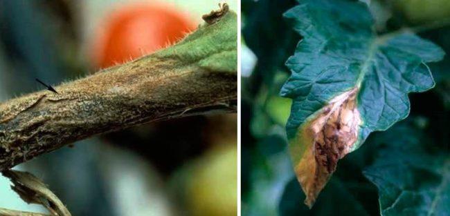 Симптомы аскохитоза на стебле и листе помидоры