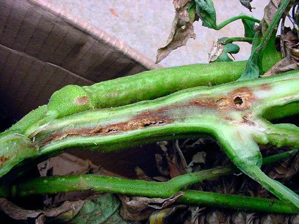 Разрез стебля помидоры с признаками поражения бактериальным раком