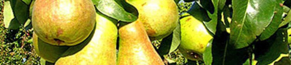 Сорт груши Бере Московская спелые плоды вблизи