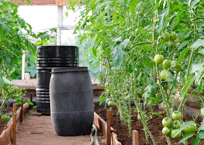 Черные бочки с водой для полива помидоров в теплице