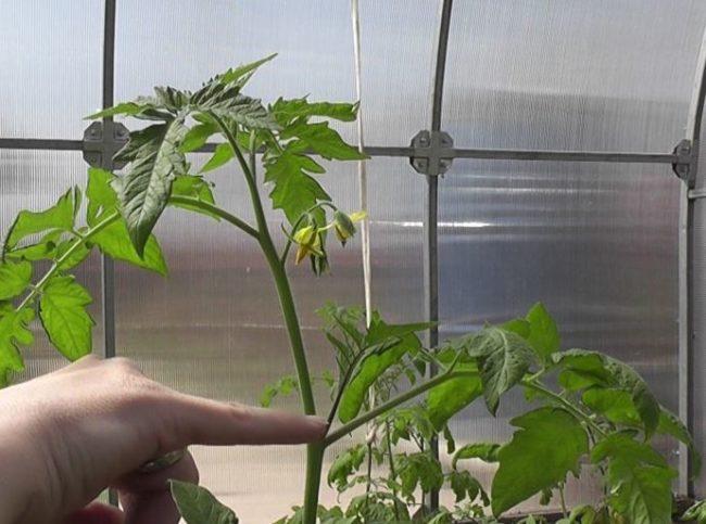 Фото бокового побега на стебле помидоры, подлежащего для удаления