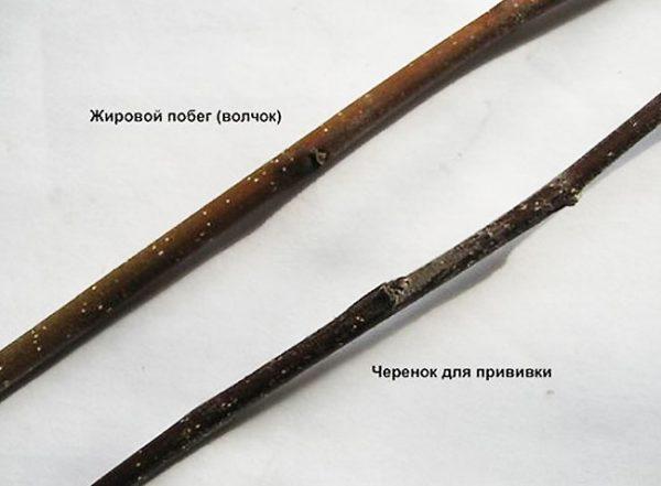 Фото черенков для прививки груши и жировых побегов