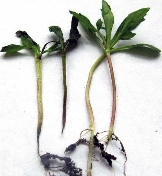 Рассада томатов с признаками заболевания черной ножкой