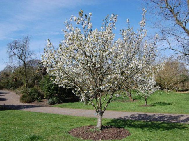 Цветение груши в плодом саду фермерского хозяйства