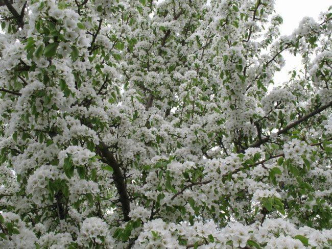 Красивое обильное цветение грушевого дерева в средней полосе России
