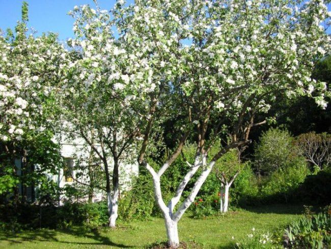 Цветение взрослой груши на приусадебном участке