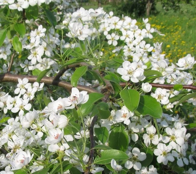 Обильный цвет на ветках взрослого дерева груши