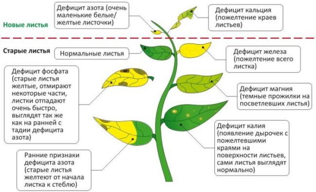 Схема диагностики нехватки различных питательных элементов по листьям груши