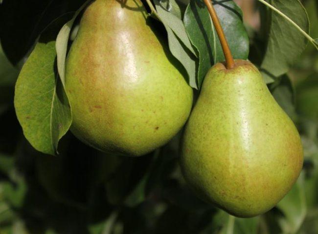 Ветка груши с двумя крупными плодами зеленого окраса