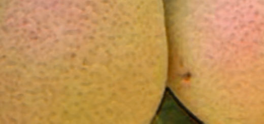 Спелые плоды сорта груши фестивальная