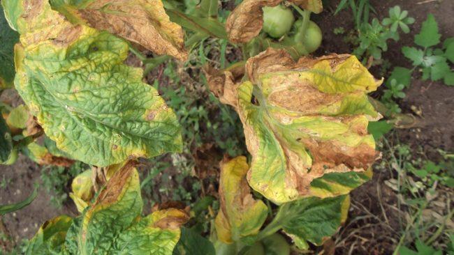 Скрученные и сухие листья томата от фитофтороза